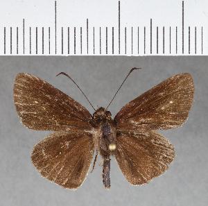 (Hesperiidae_gen sp. CF147 - CFCD00536)  @11 [ ] copyright (2018) Christer Fahraeus Fahraeus Institute