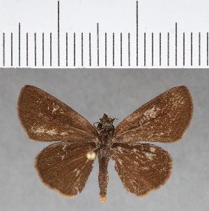 (Hesperiidae_gen sp. CF148 - CFCD00538)  @11 [ ] copyright (2018) Christer Fahraeus Fahraeus Institute