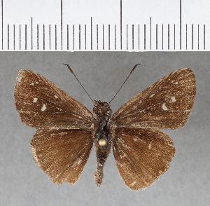 (Hesperiidae_gen sp. CF150 - CFCD00539)  @11 [ ] copyright (2018) Christer Fahraeus Fahraeus Institute