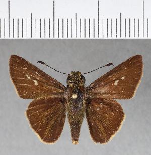 (Hesperiidae_gen sp. CF153 - CFCD00540)  @11 [ ] copyright (2018) Christer Fahraeus Fahraeus Institute