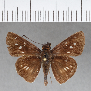 (Hesperiidae_gen sp. CF154 - CFCD00541)  @11 [ ] copyright (2018) Christer Fahraeus Fahraeus Institute
