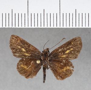 (Hesperiidae_gen sp. CF155 - CFCD00543)  @11 [ ] copyright (2018) Christer Fahraeus Fahraeus Institute