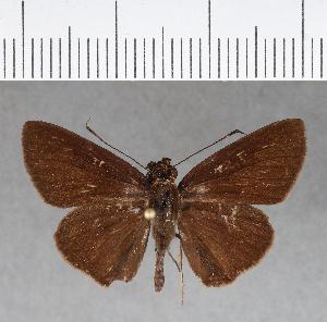 (Hesperiidae_gen sp. CF156 - CFCD00544)  @11 [ ] copyright (2018) Christer Fahraeus Fahraeus Institute