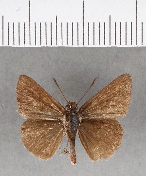 (Hesperiidae_gen sp. CF170 - CFCD00552)  @11 [ ] copyright (2018) Christer Fahraeus Fahraeus Institute
