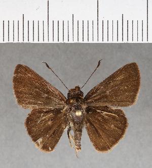 (Hesperiidae_gen sp. CF171 - CFCD00554)  @11 [ ] copyright (2018) Christer Fahraeus Fahraeus Institute