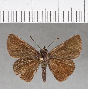 (Hesperiidae_gen sp. CF172 - CFCD00556)  @11 [ ] copyright (2018) Christer Fahraeus Fahraeus Institute