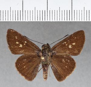 (Hesperiidae_gen sp. CF173 - CFCD00559)  @11 [ ] copyright (2018) Christer Fahraeus Fahraeus Institute
