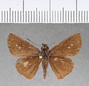 (Hesperiidae_gen sp. CF174 - CFCD00560)  @11 [ ] copyright (2018) Christer Fahraeus Fahraeus Institute