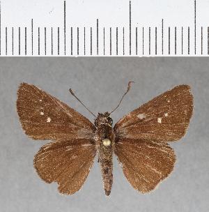 (Hesperiidae_gen sp. CF178 - CFCD00562)  @11 [ ] copyright (2018) Christer Fahraeus Fahraeus Institute
