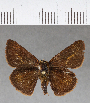 (Hesperiidae_gen sp. CF183 - CFCD00563)  @11 [ ] copyright (2018) Christer Fahraeus Fahraeus Institute