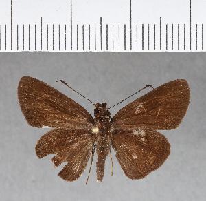 (Hesperiidae_gen sp. CF152 - CFCD00569)  @11 [ ] copyright (2018) Christer Fahraeus Fahraeus Institute