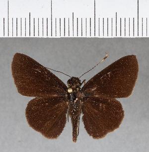 (Hesperiidae_gen sp. CF189 - CFCD00572)  @11 [ ] copyright (2018) Christer Fahraeus Fahraeus Institute