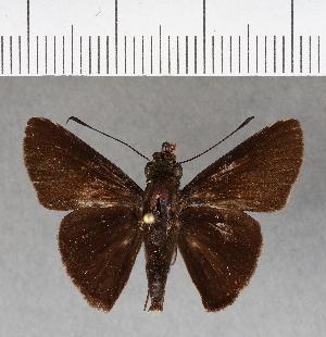 (Hesperiidae_gen sp. CF190 - CFCD00578)  @11 [ ] copyright (2018) Christer Fahraeus Fahraeus Institute