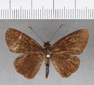 (Hesperiidae_gen sp. CF197 - CFCD00579)  @13 [ ] copyright (2018) Christer Fahraeus Fahraeus Institute