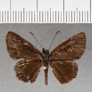 (Hesperiidae_gen sp. CF199 - CFCD00581)  @11 [ ] copyright (2018) Christer Fahraeus Fahraeus Institute