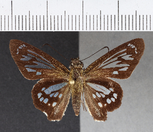 (Hesperiidae_gen sp. CF204 - CFCD00587)  @11 [ ] copyright (2018) Christer Fahraeus Fahraeus Institute