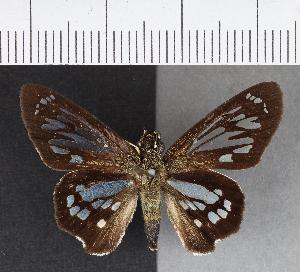 (Hesperiidae_gen sp. CF205 - CFCD00588)  @11 [ ] copyright (2018) Christer Fahraeus Fahraeus Institute