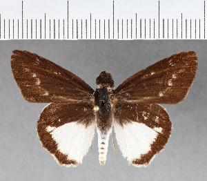 (Hesperiidae_gen sp. CF222 - CFCD00603)  @11 [ ] copyright (2018) Christer Fahraeus Fahraeus Institute