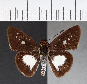(Hesperiidae_gen sp. CF225 - CFCD00604)  @11 [ ] copyright (2018) Christer Fahraeus Fahraeus Institute