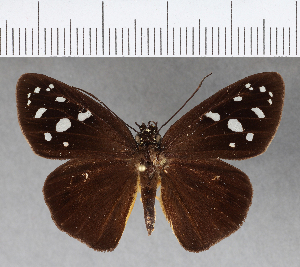 (Hesperiidae_gen sp. CF103 - CFCD00606)  @11 [ ] copyright (2018) Christer Fahraeus Fahraeus Institute