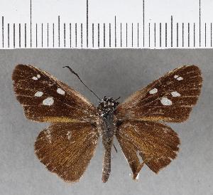 (Hesperiidae_gen sp. CF234 - CFCD00610)  @11 [ ] copyright (2018) Christer Fahraeus Fahraeus Institute