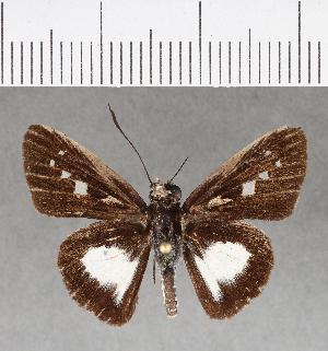 (Hesperiidae_gen sp. CF243 - CFCD00615)  @11 [ ] copyright (2018) Christer Fahraeus Fahraeus Institute