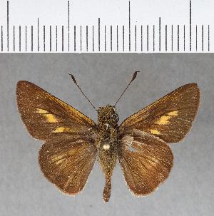 (Hesperiidae_gen sp. CF247 - CFCD00619)  @11 [ ] copyright (2018) Christer Fahraeus Fahraeus Institute
