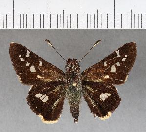 (Hesperiidae_gen sp. CF273 - CFCD00624)  @11 [ ] copyright (2018) Christer Fahraeus Fahraeus Institute