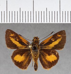 (Hesperiidae_gen sp. CF257 - CFCD00634)  @11 [ ] copyright (2018) Christer Fahraeus Fahraeus Institute