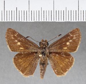 (Hesperiidae_gen sp. CF258 - CFCD00636)  @11 [ ] copyright (2018) Christer Fahraeus Fahraeus Institute