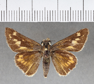 (Hesperiidae_gen sp. CF269 - CFCD00643)  @11 [ ] copyright (2018) Christer Fahraeus Fahraeus Institute