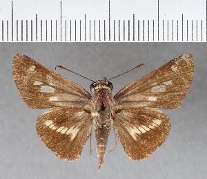 (Hesperiidae_gen sp. CF274 - CFCD00645)  @11 [ ] copyright (2018) Christer Fahraeus Fahraeus Institute