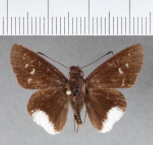 (Hesperiidae_gen sp. CF282 - CFCD00652)  @11 [ ] copyright (2018) Christer Fahraeus Fahraeus Institute