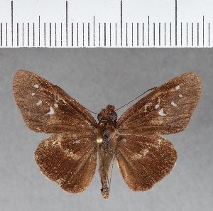 (Hesperiidae_gen sp. CF285 - CFCD00654)  @11 [ ] copyright (2018) Christer Fahraeus Fahraeus Institute