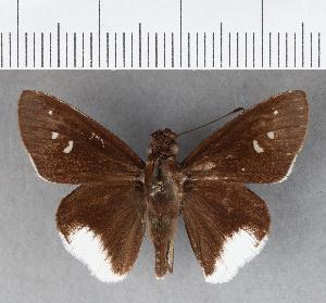 (Hesperiidae_gen sp. CF117 - CFCD00655)  @11 [ ] copyright (2018) Christer Fahraeus Fahraeus Institute
