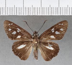 (Hesperiidae_gen sp. CF290 - CFCD00658)  @11 [ ] copyright (2018) Christer Fahraeus Fahraeus Institute