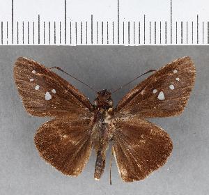 (Hesperiidae_gen sp. CF292 - CFCD00660)  @11 [ ] copyright (2018) Christer Fahraeus Fahraeus Institute