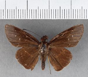 (Hesperiidae_gen sp. CF294 - CFCD00661)  @11 [ ] copyright (2018) Christer Fahraeus Fahraeus Institute
