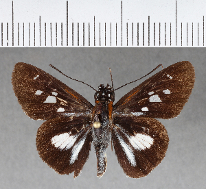 (Hesperiidae_gen sp. CF09 - CFCD00663)  @11 [ ] copyright (2018) Christer Fahraeus Fahraeus Institute