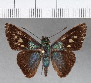 (Hesperiidae_gen sp. CF300 - CFCD00666)  @11 [ ] copyright (2018) Christer Fahraeus Fahraeus Institute
