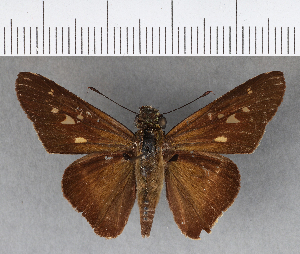 (Hesperiidae_gen sp. CF304 - CFCD00671)  @11 [ ] copyright (2018) Christer Fahraeus Fahraeus Institute