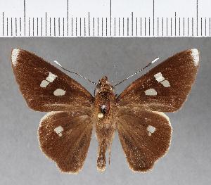 (Hesperiidae_gen sp. CF306 - CFCD00673)  @11 [ ] copyright (2018) Christer Fahraeus Fahraeus Institute