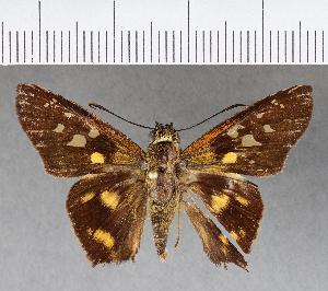 (Hesperiidae_gen sp. CF307 - CFCD00675)  @11 [ ] copyright (2018) Christer Fahraeus Fahraeus Institute