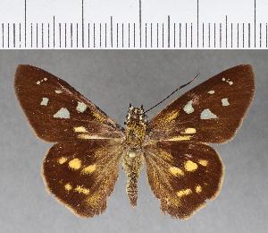 (Hesperiidae_gen sp. CF308 - CFCD00676)  @11 [ ] copyright (2018) Christer Fahraeus Fahraeus Institute