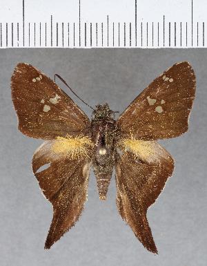 (Hesperiidae_gen sp. CF312 - CFCD00679)  @11 [ ] copyright (2018) Christer Fahraeus Fahraeus Institute