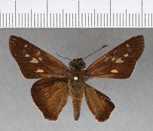 (Hesperiidae_gen sp. CF314 - CFCD00684)  @11 [ ] copyright (2018) Christer Fahraeus Fahraeus Institute