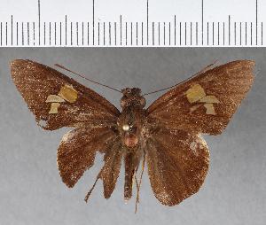 (Hesperiidae_gen sp. CF320 - CFCD00696)  @11 [ ] copyright (2018) Christer Fahraeus Fahraeus Institute