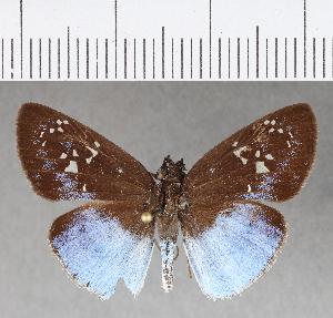 (Hesperiidae_gen sp. CF28 - CFCD00700)  @11 [ ] copyright (2018) Christer Fahraeus Fahraeus Institute