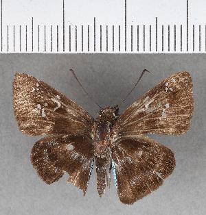 (Hesperiidae_gen sp. CF330 - CFCD00702)  @11 [ ] copyright (2018) Christer Fahraeus Fahraeus Institute