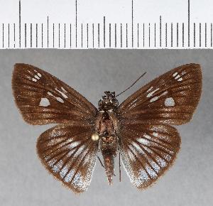 (Hesperiidae_gen sp. CF331 - CFCD00703)  @11 [ ] copyright (2018) Christer Fahraeus Fahraeus Institute